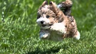 Havanese dog breed information, pictures, characteristics & facts ....