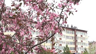 Верхняя Салда прощалась с маем белоснежным вальсом яблоневого цвета