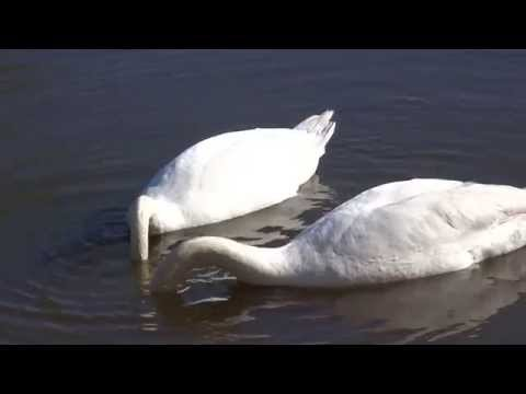 The life of two swans in Kaliningrad, Russia