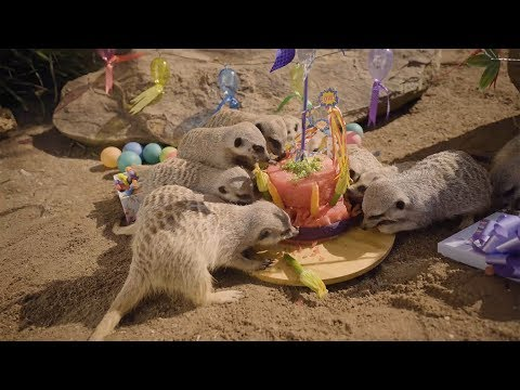 Meerkat babies celebrate 1st birthday with Cake Smash Party