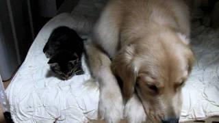 保護した子猫 ここでいっしょに寝よう。 It is the kitten which it protected. I will sleep together here.