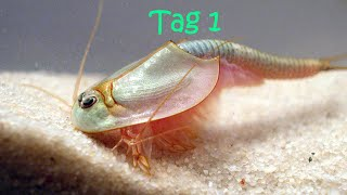 Triops züchten Tag 1 [Amazon Triopseier] (3.Zucht)