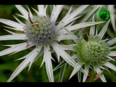 Que planta natural sirve para bajar de peso