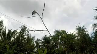 memikat burung kolibri ninja dapat buaanyak mantap lagi