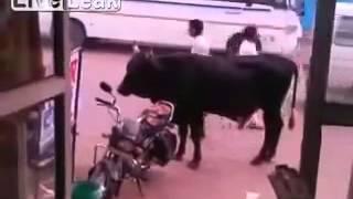 Bull tries humping a bike