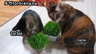 고양이들이 제일 좋아하는 보리새싹