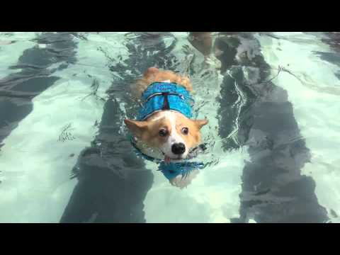 Cotton the Corgi's First Swim