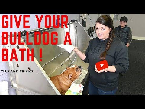 How to Bath An English Bulldog | Tips and Tricks | How to Groom an English Bulldog