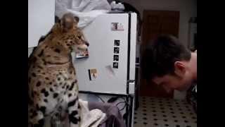 Кошка Ашера наказывает своего хозяина