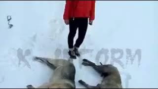В селении ХМАО собаки загрызли лошадь