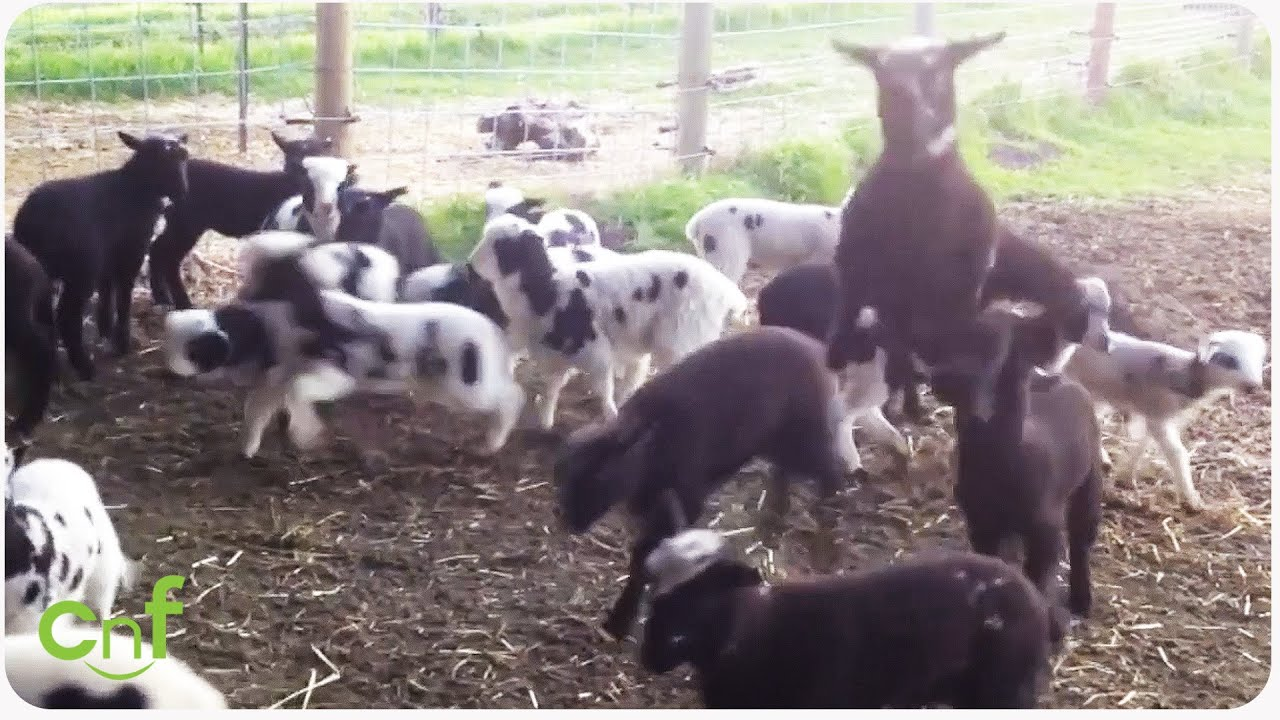 Baby Goats Playing and Bouncing | Mini Jumps