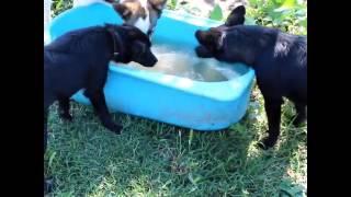 Собаки утопили камень