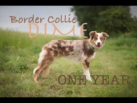 Border Collie Dime - One Year ♡