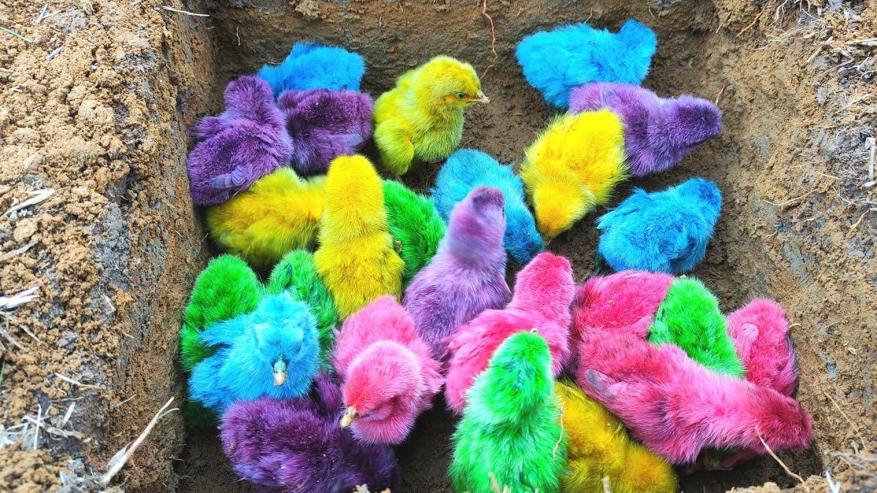 Download Menemukan Banyak Anak Ayam Warna Warni Dalam Lubang Dan Ikan Mas, Ikan Hiu, Kepiting, Buaya, Kadal