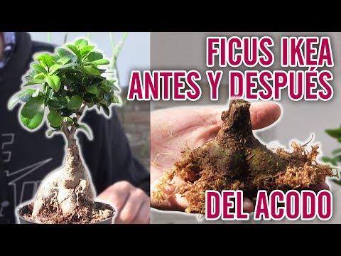 Caida De Hojas Ficus Ginseng Por Que Se Le Caen Las Hojas A Mi Ficus Microcarpa Ginseng Youtube