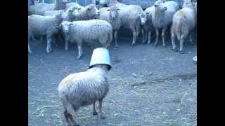 баран с ведром на голове. sheep with a bucket on h