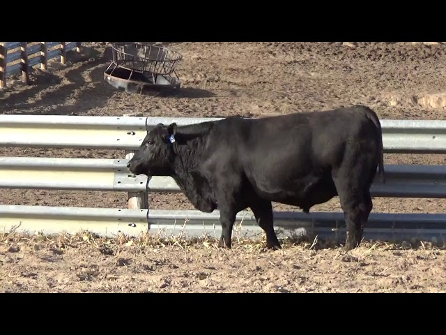 Connealy Angus Lot 242