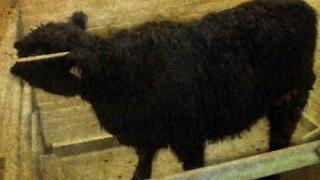 Vor 20 Jahren: Erster BSE-Fall bei einem in Deutschland geborenen Rind
