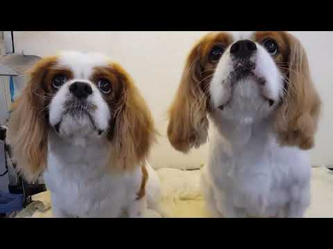 Did you say its time for treats? | Dogs | King Charles Spaniel puppies