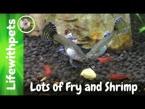 So Many Fry and Shrimp in The Breeding Tank For Profit