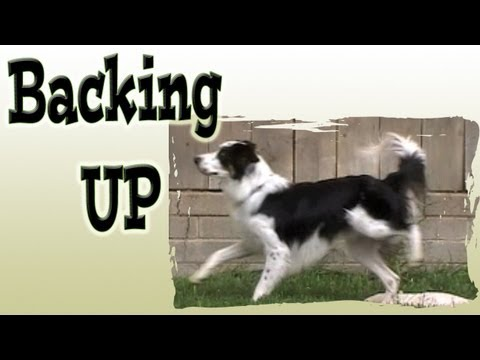 Train a dog to Back up & adding a new visual cue - Clicker Dog training