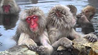Snow Monkeys Jigokudani Monkey Park Yamanouchi 2
