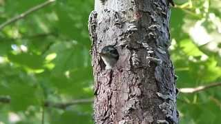 Baby Bird - woodpecker - calling from nest inside a old pine tree