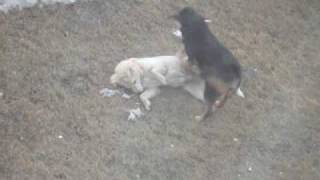 Cora A Female Dog Mounts Clayton The Male