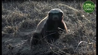 Moment of the Week: Honey badger digs for scorpions