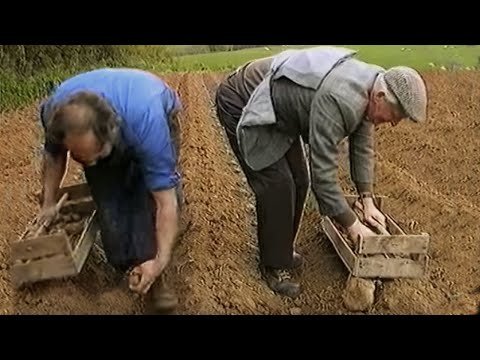 Potatoes being planted in Ireland the old way!