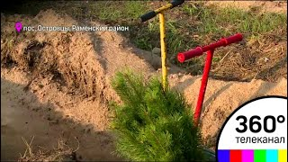 В Томилинском лесопарке посадили 160 тыс саженцев сосен и лиственницы