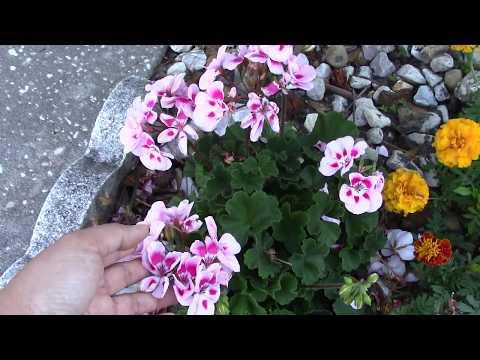 How to Deadhead Geranium Flowers without Garden Tools | Garden Q Flower MVI 0779