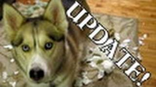 Bad Dog Wanted Snow Shelby Siberian Husky Guilty Dog Animal Planet