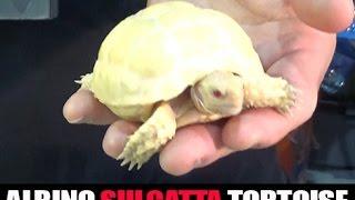 Snow White Albino Sulcatta Tortoise Babies: 2016 Daytona Reptile Breeders Expo- Part 6