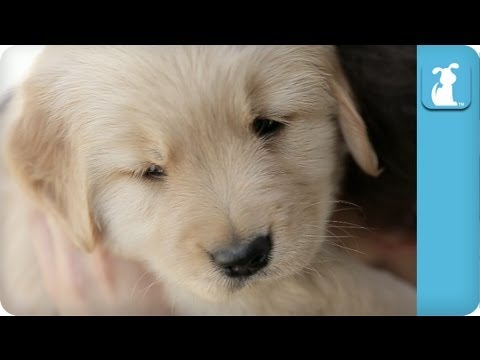 Cuddle With A Golden Retriever Puppy