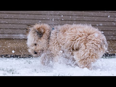 Ryan - Soft-Coated Wheaten Terrier (Sony FDR-AX53 Test)