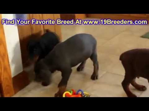 Doberman Pinscher, Puppies, Dogs, For Sale, In Tampa, Florida, FL, 19Breeders, Fort Lauderdale