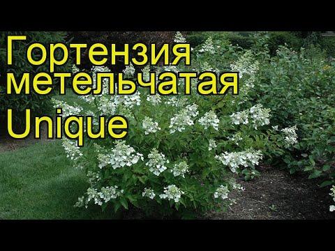 Гортензия метельчатая Юник. Краткий обзор, описание характеристик hydrangea paniculata Unique