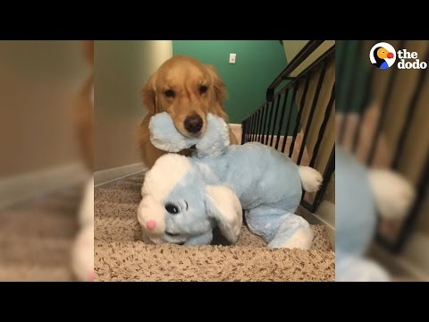 Dog Takes Favorite Toys To Bed Every Night | The Dodo