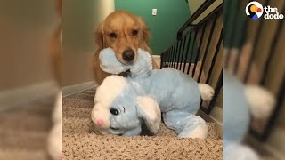 Dog Takes Favorite Toys To Bed Every Night | The Dodo thumbnail