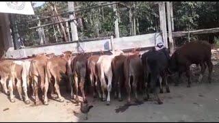 Harga bibitan sapi stok banyak dan kumplit sesuai kebutuhan perternak