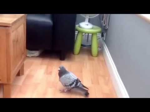 Pigeon in house