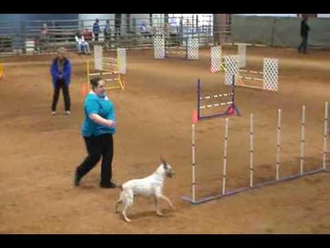 Australian Cattle Dog AKC Dog Agility~ Jumpers