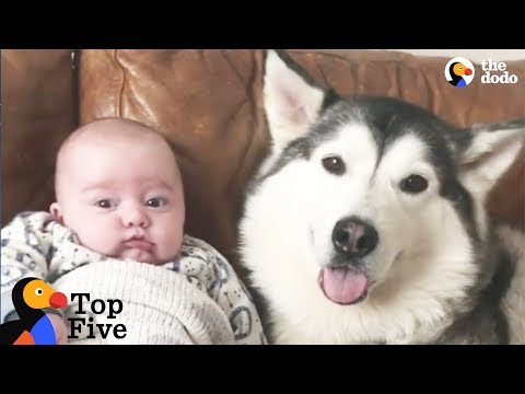 Husky Dog Loves His New Baby Brother + Other Awesome Animal Bros | The Dodo