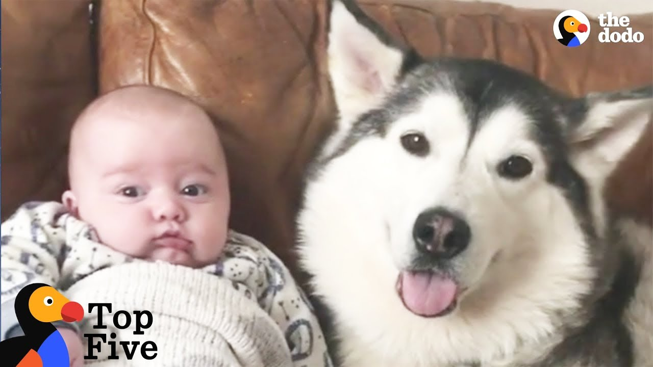 Husky Dog Loves His New Baby Brother + Other Awesome Animal Bros | The Dodo Top 5