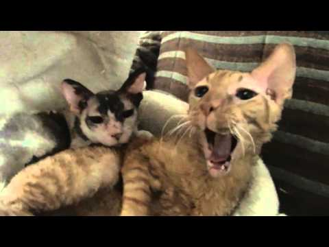 *CUTE* Cornish Rex Cats