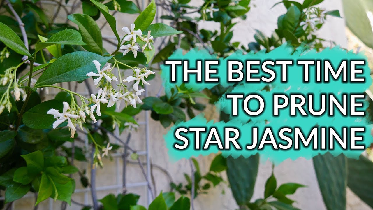 The best time to prune a star jasmine how i trimmed mine joy us the best time to prune a star jasmine how i trimmed mine joy us garden izmirmasajfo