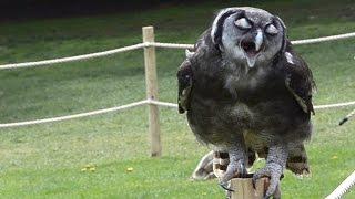 Falconry Show Warwick Castle UK Milky Eagle Owl