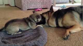 Protecting His Bed. Munster Vs Dunder. German Shepherd And Rat Terrier