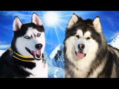 siberian husky vs alaskan malamute highlights youtube